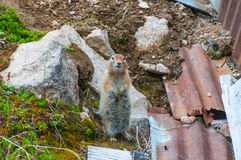 Arctic Ground Squirrel Royalty Free Stock Photo
