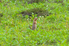 Arctic Ground Squirrel Stock Image