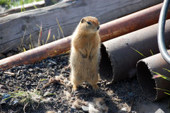 Arctic ground squirrel near metal tube Stock Photo