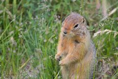Arctic Ground Squirrel Pops up in a Field royalty free stock photos
