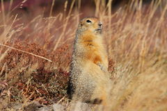 Arctic Ground Squirrel or Sik Sik Royalty Free Stock Photography