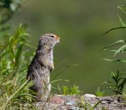 Arctic Ground Squirrel stock images