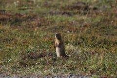 Arctic Ground Squirrel (Urocitellus parryii) stock images