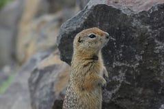 Arctic Ground Squirrel (Urocitellus parryii) stock photo