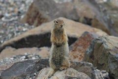 Arctic Ground Squirrel (Urocitellus parryii) royalty free stock image