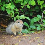 Arctic ground squirrel Urocitellus parryii sits under a bush stock photo