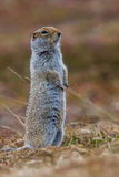 Arctic Ground Squirrel. Vertical Composition of Adult Arctic Ground Squirrel Standing Erect On Tundra Royalty Free Stock Images