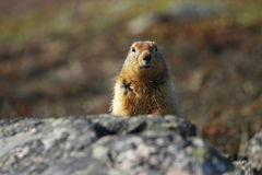Free Arctic Ground Squirrels &x28;Spermophilus Parryii&x29; Hiding Behind A Rock Stock Photo - 58047290