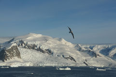 Arctic gull, mountains & glaciers. With icefalls emptying into the ocean,,Neko Harbor, Andvord Bay,Antarctica Royalty Free Stock Image