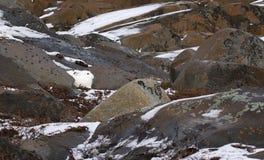 Arctic Hare Stock Photos