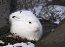 Arctic Hare Royalty Free Stock Photos