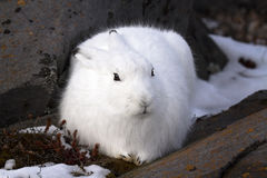 Arctic Hare Stock Images