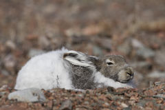 Arctic hare hiding Stock Photo