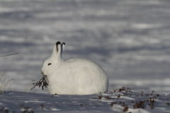 Arctic Hare Lepus arcticus chewing on willow near Arviat, Nunavut Royalty Free Stock Photography