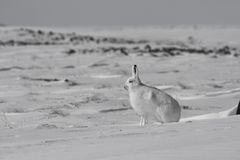 Arctic hare Lepus arcticus getting ready to jump while sitting on snow and shedding its winter coat. Nunavut Canada Stock Photography