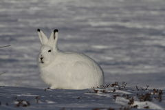 Arctic Hare Lepus arcticus staring into the distance, near Arviat, Nunavut. Arctic Hare staring into the distance, near Arviat, Nunavut Stock Images