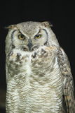 Arctic horned owl Royalty Free Stock Photos