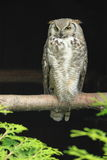 Arctic horned owl Royalty Free Stock Images