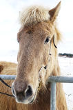 Arctic horse Royalty Free Stock Images