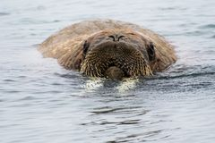 Free Arctic Island Of Svalbard Norway, Walrus In The Cold Water Of The Arctic Ocean Stock Image - 126806391