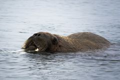 Free Arctic Island Of Svalbard Norway, Walrus In The Cold Water Of The Arctic Ocean Royalty Free Stock Photography - 126806397