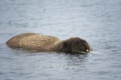 Free Arctic Island Of Svalbard Norway, Walrus In The Cold Water Of The Arctic Ocean Stock Photography - 126806402