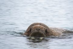 Arctic Island Of Svalbard Norway, Walrus In The Cold Water Of The Arctic Ocean Royalty Free Stock Photo