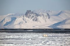 Arctic landscape with polar bear Stock Photos