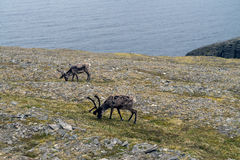 Arctic landscape with reindeers at Nordkapp, Norway Royalty Free Stock Image