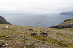 Arctic landscape with reindeers at Nordkapp, Norway Royalty Free Stock Photography