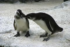 Arctic Love. Two penguins snuggle stock images