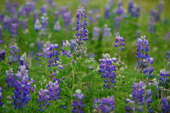 Arctic Lupine (Lupinus ancticus) Royalty Free Stock Photo