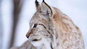 The Arctic Lynx. Of Scandinavia stock video footage