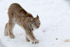 Arctic Lynx Cat. A big wild animal through a chain link fence in Norway Stock Photos