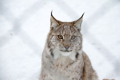 Arctic Lynx Cat. A big wild animal through a chain link fence in Norway Stock Images