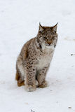 Arctic Lynx Cat cub. A big wild animal through a chain link fence in Norway Royalty Free Stock Photo