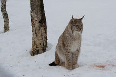 Arctic Lynx Cat sat. A big wild animal through a chain link fence in Norway Royalty Free Stock Photos