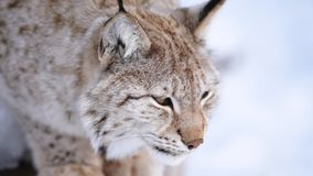The Arctic Lynx. Of Scandinavia stock video