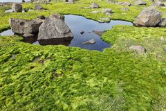 Arctic moss Royalty Free Stock Photo