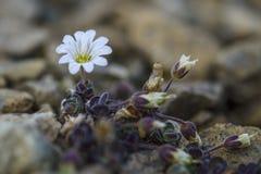 Arctic Mouse-ear flower - Cerastium nigrescens stock photos