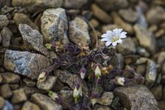 Arctic Mouse-ear flower - Cerastium nigrescens stock image
