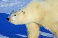 arctic odprowadzenie niedźwiadkowy biegunowy śnieżny zdjęcia stock