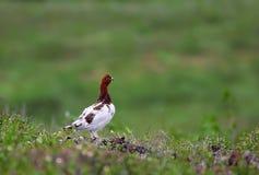 Arctic partridge male Stock Photos