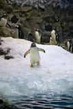 Arctic penguin Royalty Free Stock Image