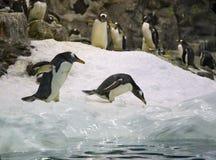 Arctic penguin Stock Images