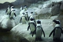 Arctic Pinguins. On Rocks -  Horizontal Photo Stock Photography