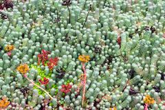 Arctic plant in park in Reykjavik city. Travel to Iceland - arctic plant in public family park in laugardalur valley of Reykjavik city in september Stock Image