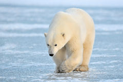 Arctic, Polar Bear. Polar Bear walking on ice Stock Photo