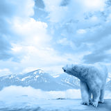 Arctic polar bear, Ursus maritimus Royalty Free Stock Photos