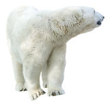 Arctic polar bear, Ursus maritimus Stock Photos
